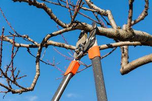 Snoeien van laanbomen  |  Dinsdag van 9u00 tot 16u00  (5 dagen van 22/10 tot 26/11/2019)